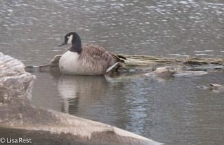 Canada Goose 04-03-2016-5062