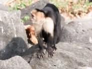 Capuchin Moneky 02-25-2016-3119