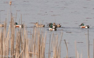 Northern Shovelers McGinnis 4-23-2016-6923
