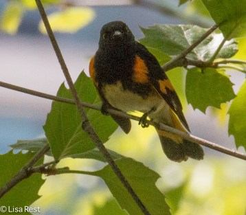 American Redstart, Lake Shore East Park