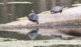 Turtles Portage 6-5-2016-2779