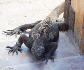 marine-iguana-7-10-2016-5032