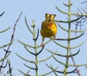 Yellow Warbler - Galapagos - July 2016