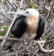 magnificent-frigatebird-7-11-16-7216