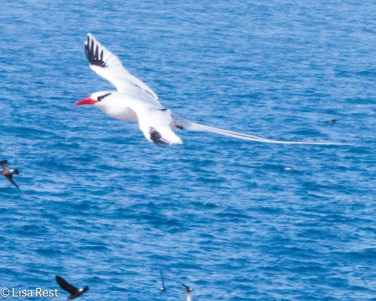 red-billed-tropicbird-7-11-16-6947