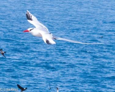 red-billed-tropicbird-7-11-16-6947