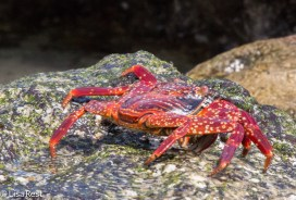 sally-lightfoot-crab-7-11-16-7306