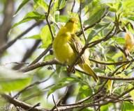 yellow-warbler-07-14-2016-5614