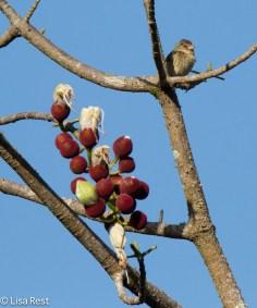 woodpecker-finch-07-15-16-6331