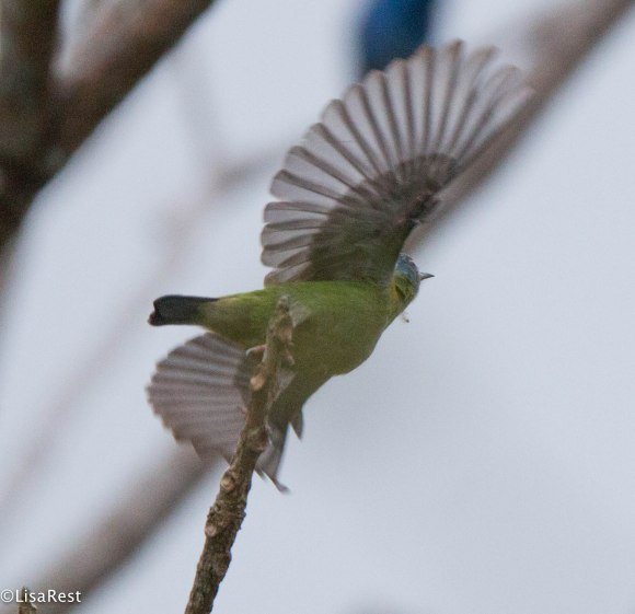 Blue Dacnis Female
