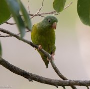 Orange-Chinned Parakeet 3-13-17-1524