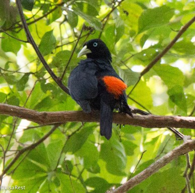 Scarlet-Rumped Cacique 3-14-17-2400