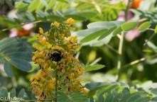 Bee in Wild Senna 07-15-17-1580