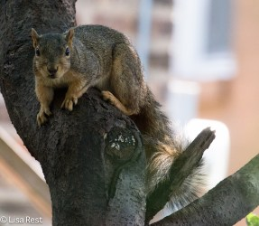 Fox Squirrel 07-15-17-1636