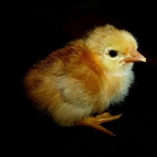 Nuestro pollito