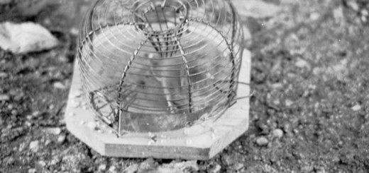 Gefangene Maus. Foto: Hufner