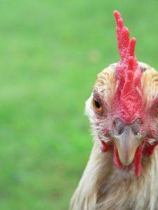 Das Huhn, dein Freund und Helfer. Foto: Hufner