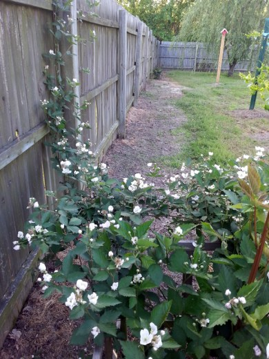 Blackberry blossoms. I see a gallon of wine. :)