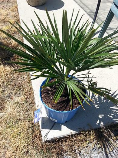 deck-windmill palm