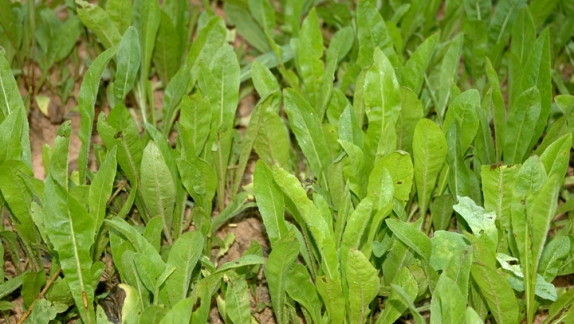How to Plant Chicory for Deer