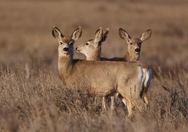 Three Mule Deer in Eastern Montana