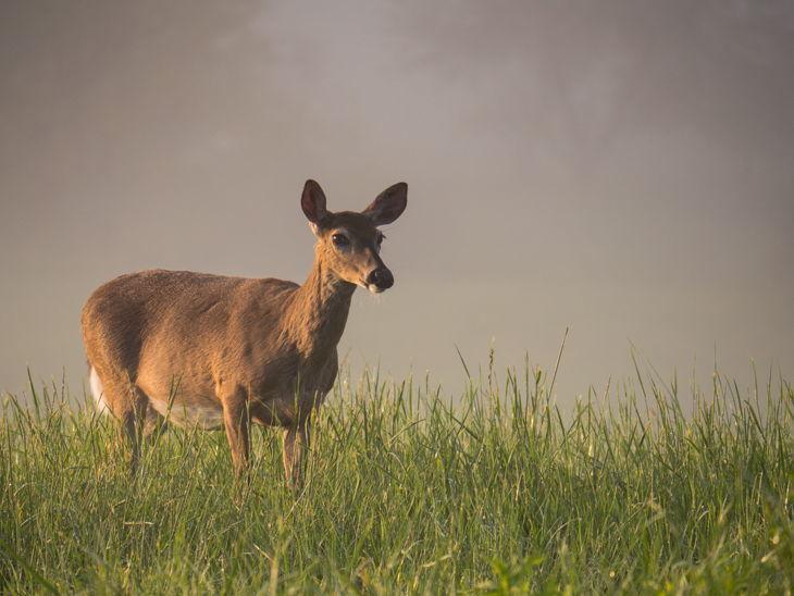 deer pregnant