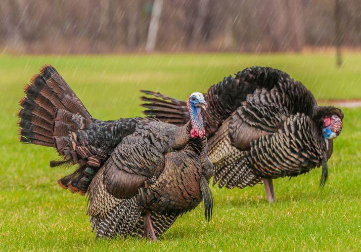 turkey hunting in the rain