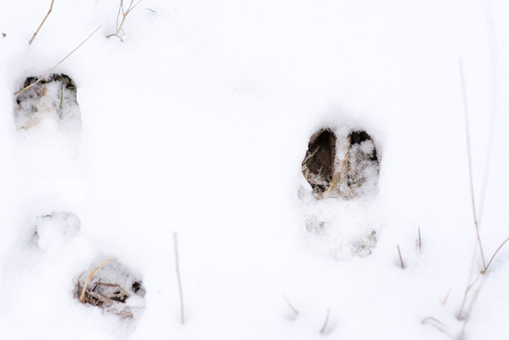 fresh whitetail deer tracks in the bright white snow