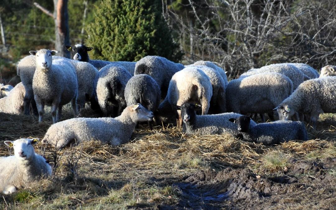 Muskö Gårdsbutik. Lammkött, lammskinn med mera. Egen produktion.