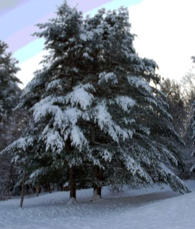 More Trees in Winter