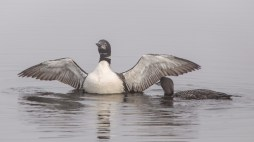 Misty Morning Loons