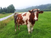 Nawet krowa jest zdegustowana pogodą