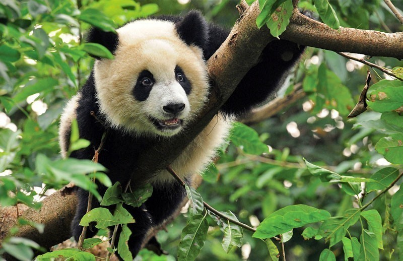 Watch the Giant Pandas In Sichuan Province | 10 Things To Do And See In China On A Budget