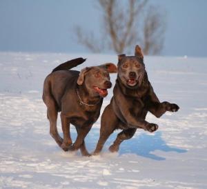 Labradore sind unsere Begleiter in Freizeit, Sport und Fitness.