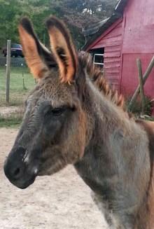 Fred (donkey)