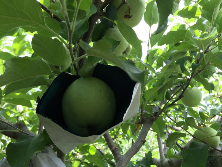 Placing bags around the apples to protect them from insects