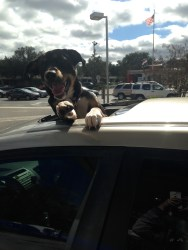 Harper- Always hyperactive. Yes she is tryongt o get out of my sunroof.