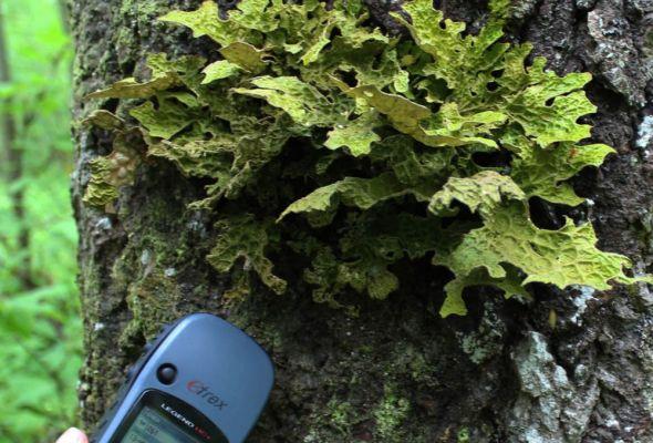 На территории Сунского бора обнаружены краснокнижные виды, уничтожение которых является уголовным преступлением. Фото: Лесной портал Карелии