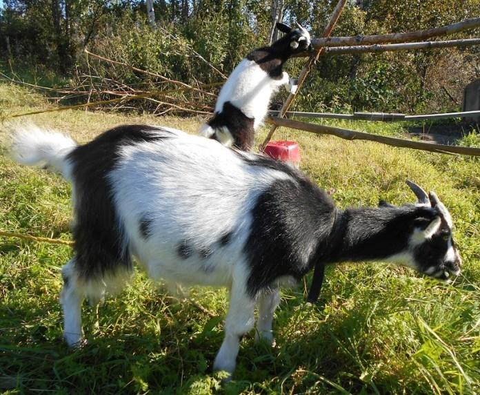 Жители Калевальского района стали держать коз. Фото: Людмила Капанен
