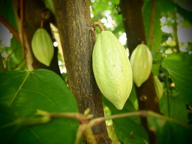 В уникальном ботаническом саду финского города Йоэнсуу растет не только кофе, но и какао, а также еще около 600 тропических деревьев и цветов. Фото: Валерий Поташов