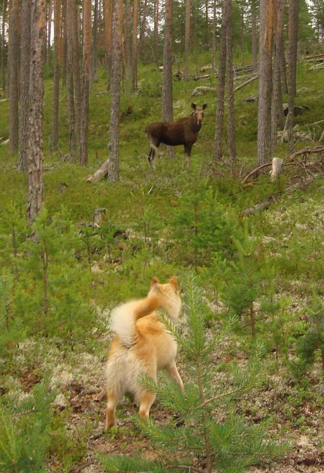 """Охота на копытных станет привилегией """"крутых"""" московских гостей? Фото: Андрей Туоми"""