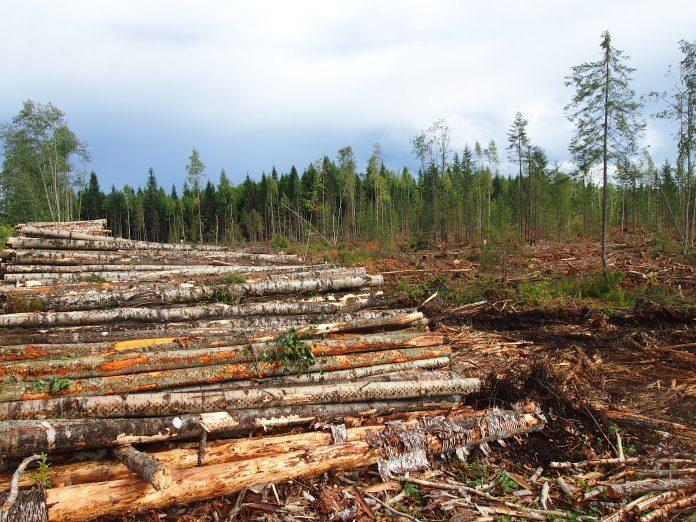 Убытки от лесозаготовки в Карелии исчисляются сотнями миллионов рублей. Фото: Валерий Поташов
