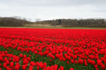A Tulip field along the Dunes