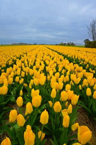 Endless Yellow Tulip Fields