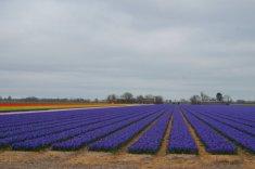 Hyacinths in bloom