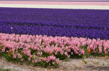 Things to do in Den Helder, Holland. Dutch flower bulbs.