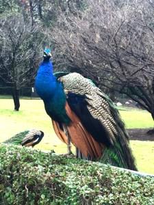 Dolores Olmedo Museum Peacock