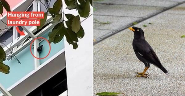 Yishun Woman Hangs Mynah Bird From Pole To Teach It A Lesson, NParks Investigates