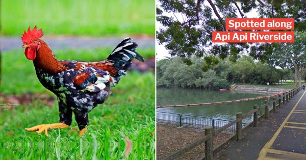 Photographer Spots Rare Majestic Rooster In Pasir Ris, Netizens Can't Stop Fawning Over It