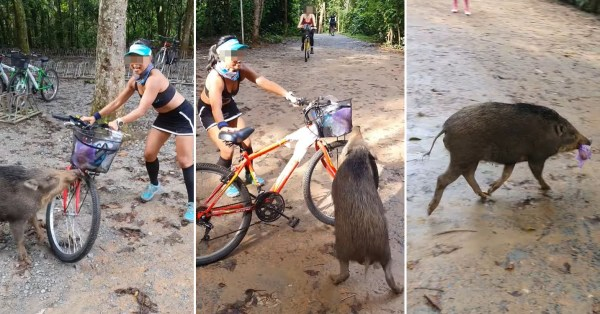 Woman Fends Off Hungry Wild Boar On Pulau Ubin, It Really Wanted Food From Her Plastic Bag